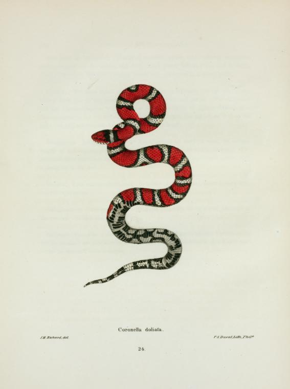 Coronella Rhombo Maculata